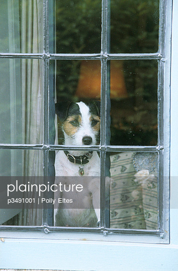 Jack Russell looking out of a  window - p3491001 by Polly Eltes