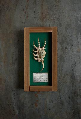 Lambis scorpius scorpius - p1028m1034654 von Jean Marmeisse