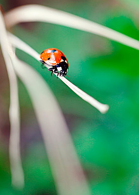 Ladybug perching on dry blade of grass - p300m1018799f by Laura Stolfi