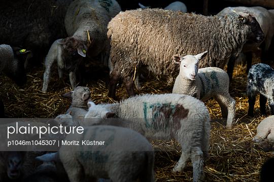 Lambs in flock of sheep - p1046m1045307 by Moritz Küstner