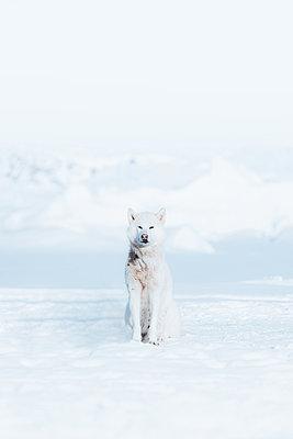Greenlandic Husky - p1634m2210353 by Dani Guindo