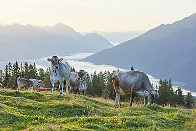 Austria, Tyrol, Mieming Plateau, cows on alpine meadow - p300m1550076 by Christian Vorhofer