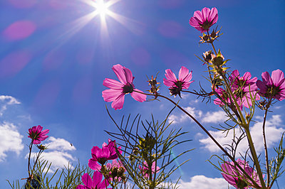 Cosmos bipinnatus against blue sky - p429m2069413 by Henglein and Steets