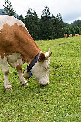 Kühe auf der Weide - p1066m931695 von Ulrike Schacht