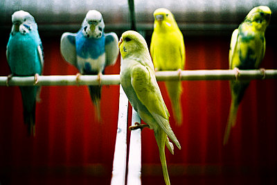 Five Budgies - p600m764078 by Laura Stevens