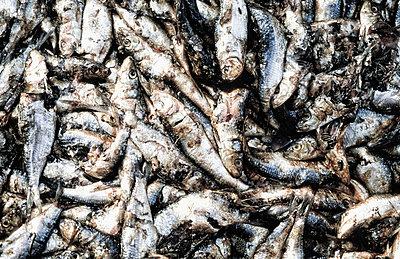 dead sardines - p1014m766685 by Jeff Hornbaker