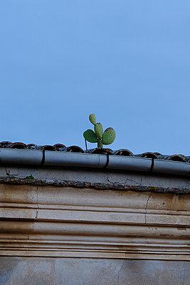 Cactus on roof - p1105m2082513 by Virginie Plauchut