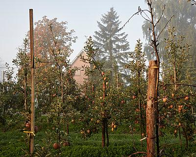 Apfelplantage - p1124m1069644 von Willing-Holtz