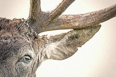 Red deer eye and antler (Cervus elaphus). Classic Portrait of a Red Deer shot against a white background. - p1424m1500609 by James Silverthorne