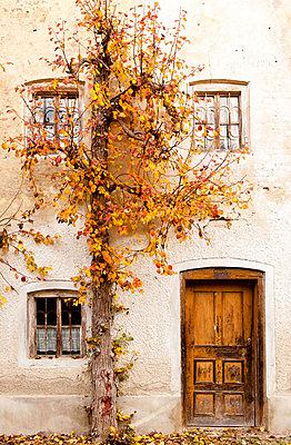 Birnenbaum in Herbstfarben - p533m1104416 von Böhm Monika