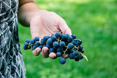 Harvesting grapes - p879m2054864 by nico