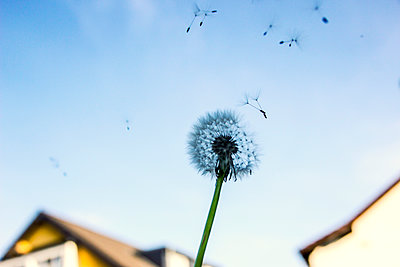 Dandelion clock, seeds in the wind - p879m2204229 by nico