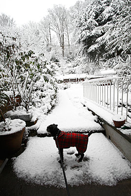 Patterdale Terrier in winter - p1121m937652 by Gail Symes
