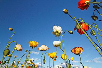 Poppy field - p307m974231f by Tetsuya Tanooka