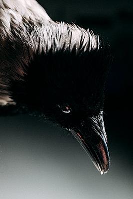 Portrait of a crow - p795m2228521 by JanJasperKlein