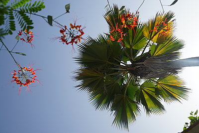 Palm tree in blue sky - p1610m2181460 by myriam tirler