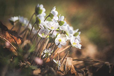 Blossoms of white Liverworts - p300m2102848 by Anke Scheibe