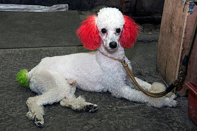 Poodle dyed the animal market in shanghai - p589m892183 by Thierry Beauvir