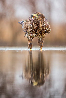 White-tailed Eagle  in water, Kiskunsag National Park, Hungary - p884m1145410 by John Gooday/ NIS