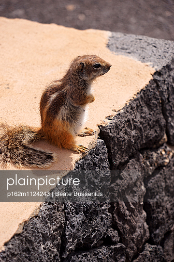 Atlashörnchen auf Fuereventura - p162m1124243 von Beate Bussenius