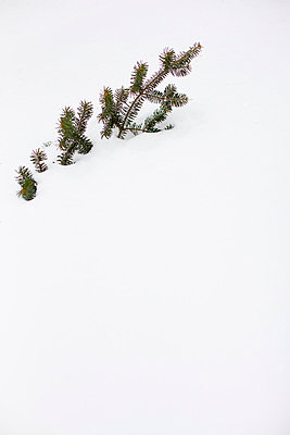 Conifer - p756m787423 by Bénédicte Lassalle