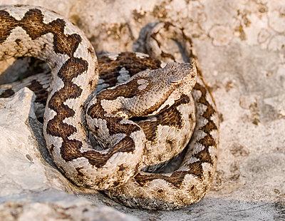 Hornotter, Sandviper, vipera ammodytes - p1463m2229954 von Wolfgang Simlinger