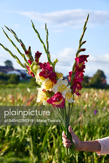 Hand holding bouquet with gladiolus flowers - p1540m2295319 by Marie Tercafs