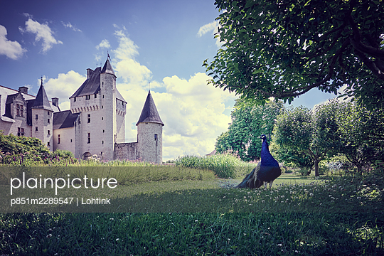 Castle of the Loire Valley, peacock in the foreground, France  - p851m2289547 by Lohfink