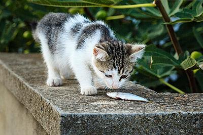 Kitten gets little fish - p1501m2128608 by Alexander Sommer