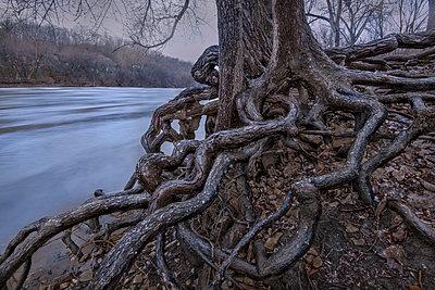 Gnarled tree roots, Mississippi River, Minnesota - p884m1356763 by Jim Brandenburg