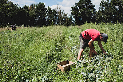 Man standing in a field, harvesting vegetables. - p1100m2271552 by Mint Images