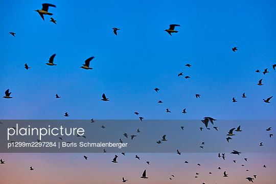 Seagulls - p1299m2297284 by Boris Schmalenberger