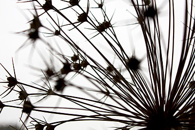 Allium seedhead - close up 2 - p1072m899479 by Gail Symes