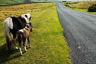 Wild horses grazing on the moorland near empty road - p6441298 by Naki Kouyioumtzis