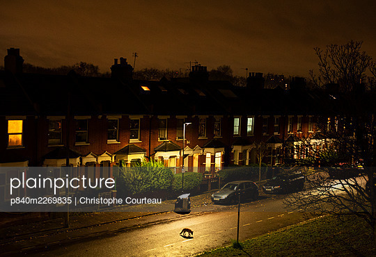 Fox (Vulpes vulpes) moving through its territory at night, North London, England, UK. December. - p840m2269835 by Christophe Courteau