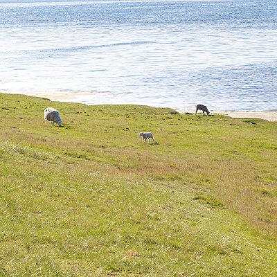 Schafe an der Nordseeküste - p606m957503 von Iris Friedrich