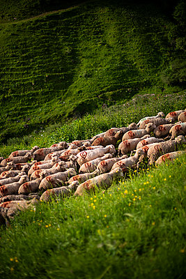 Transhumance, flock of sheep in the Alps - p1007m2216453 by Tilby Vattard