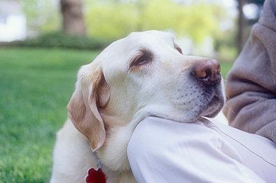 Close-up of Labrador Retriever resting head on woman's knee - p1427m2271677 by Chris Hackett