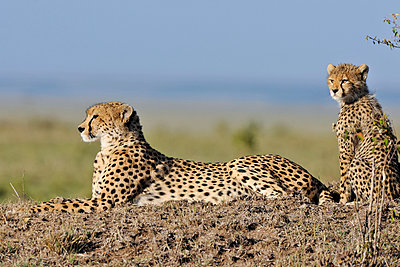 Cheetah with young animal - p533m982464 by Böhm Monika