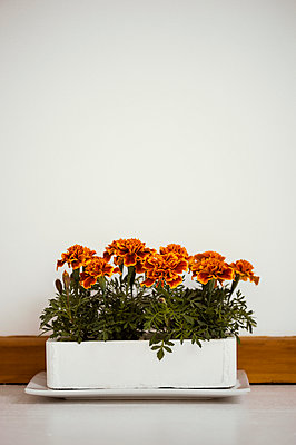 French marigolds indoors in a polystyrene planter  - p1047m1041626 by Sally Mundy