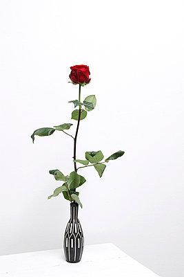 Rote Rose - p237m793487 von Thordis Rüggeberg