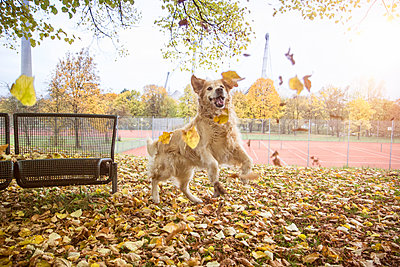 Golden Retriever playing with autumn leaves - p300m2083617 by Maria Maar