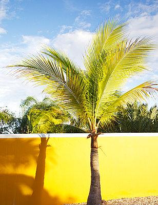 Palme vor gelber Wand - p606m885587 von Iris Friedrich