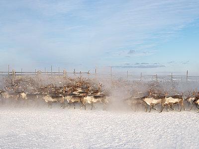Herd of Reindeer in Lapland - p1216m2182516 by Céleste Manet