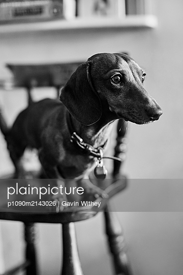 Dachshund - p1090m2143026 by Gavin Withey