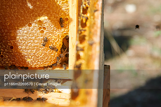 Some bees working in your comb while one alone bee fly around it - p1166m2269570 by Cavan Images