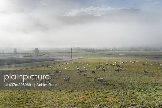 Flock of sheep in the morning fog, Kärnten, Austria - p1437m2260691 by Achim Bunz