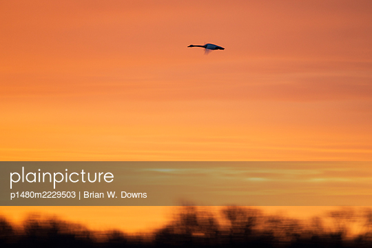 Tundra Swan in front of Colorful sky - p1480m2229503 by Brian W. Downs
