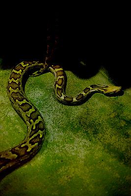 Indian Python (Python molurus) - p1028m2245251 von Jean Marmeisse