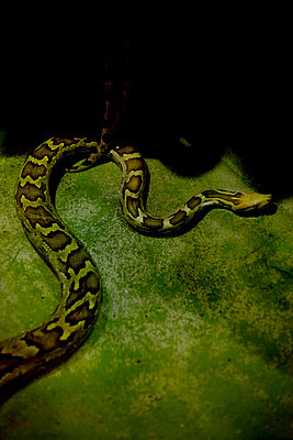 Indian Python (Python molurus) - p1028m2245251 by Jean Marmeisse